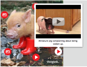 You can learn more about the image by hovering over some of the buttons place on it, which reveal videos, pictures, and other information about teacup pigs.